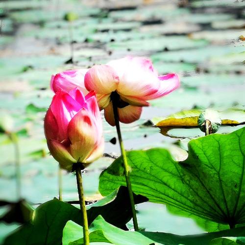 lotus  flower in garden photography