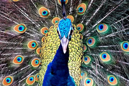 KL bird park peacodk 2